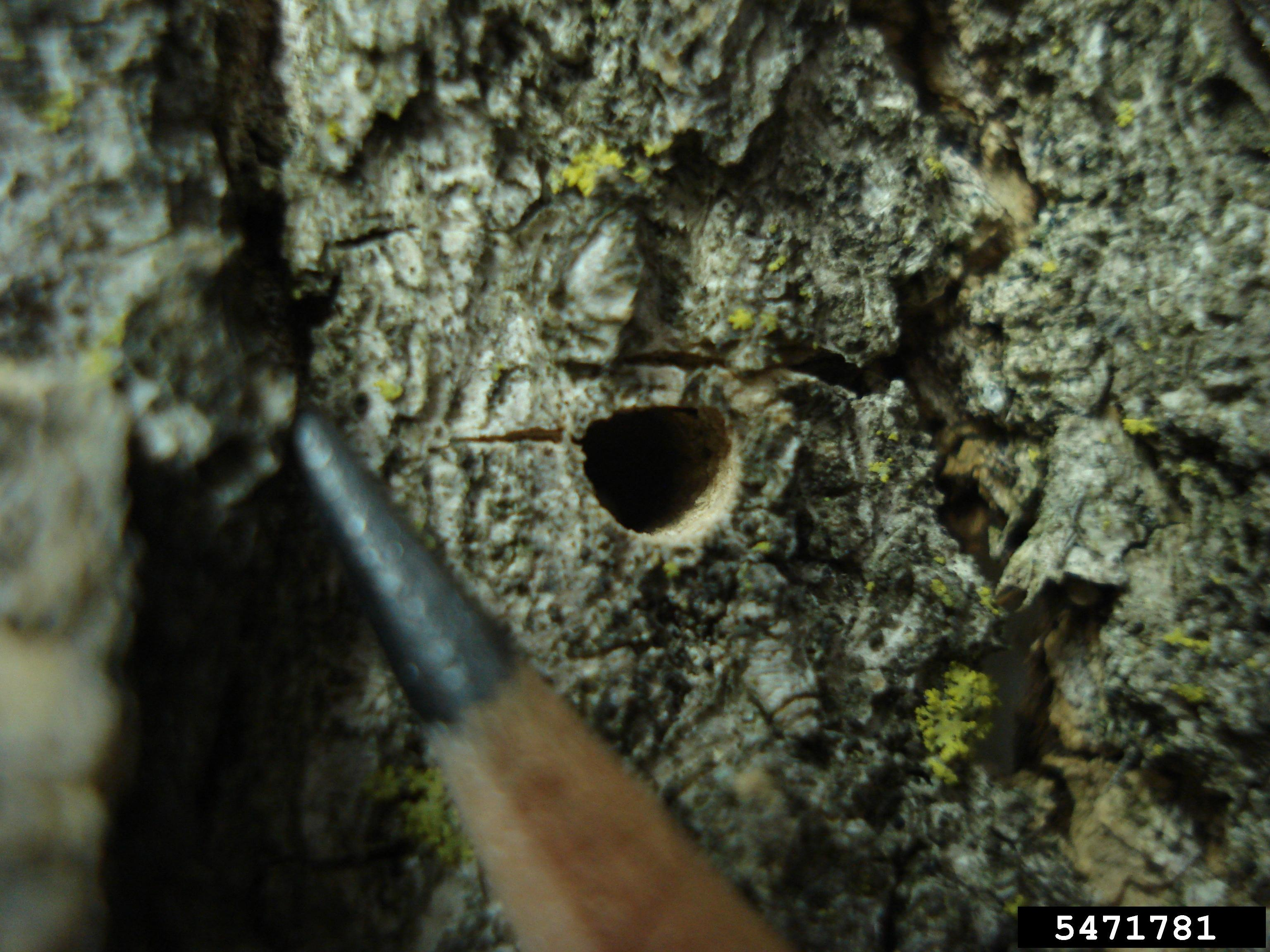 Exit Hole From EAB Adult