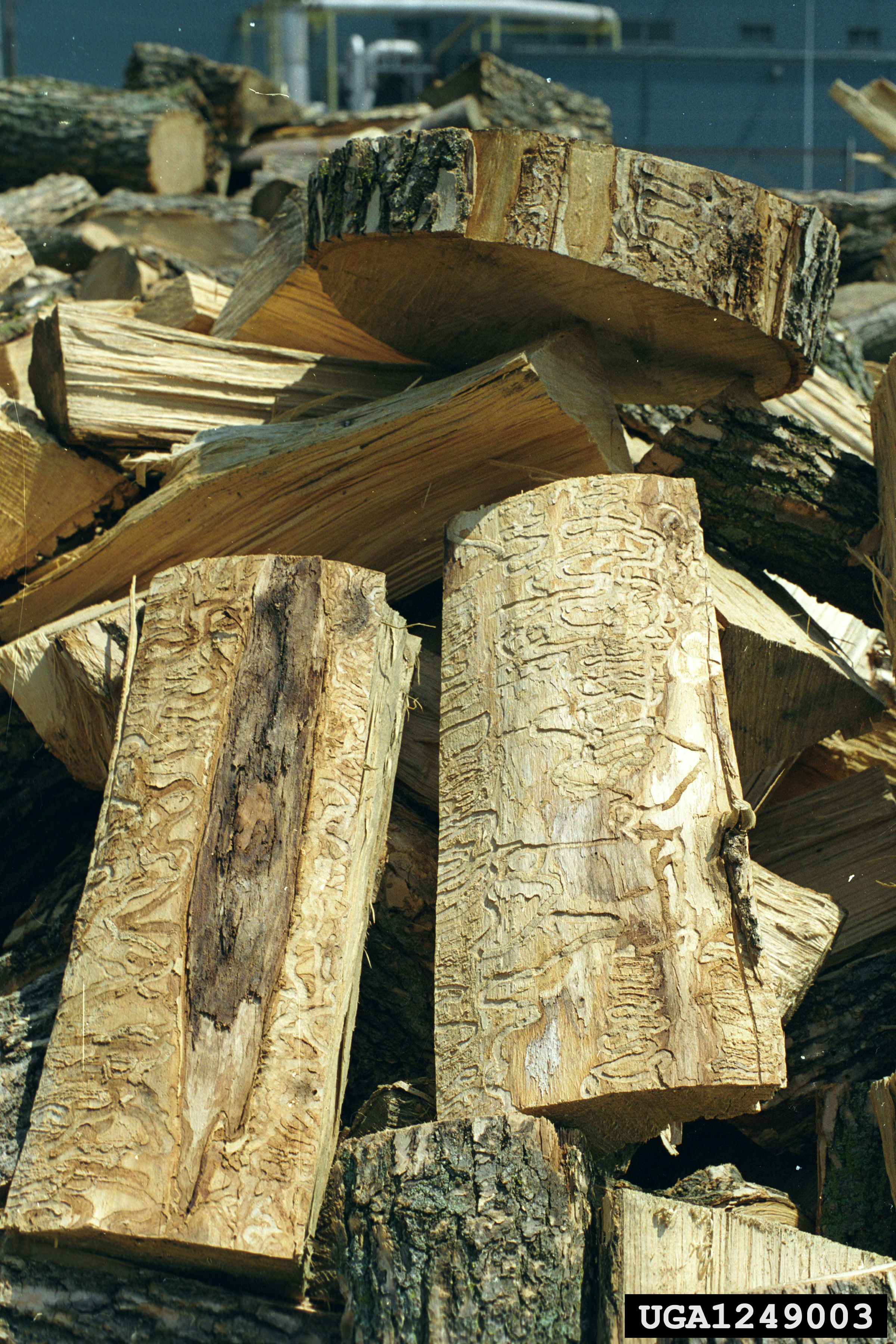 EAB Infested Firewood Pile
