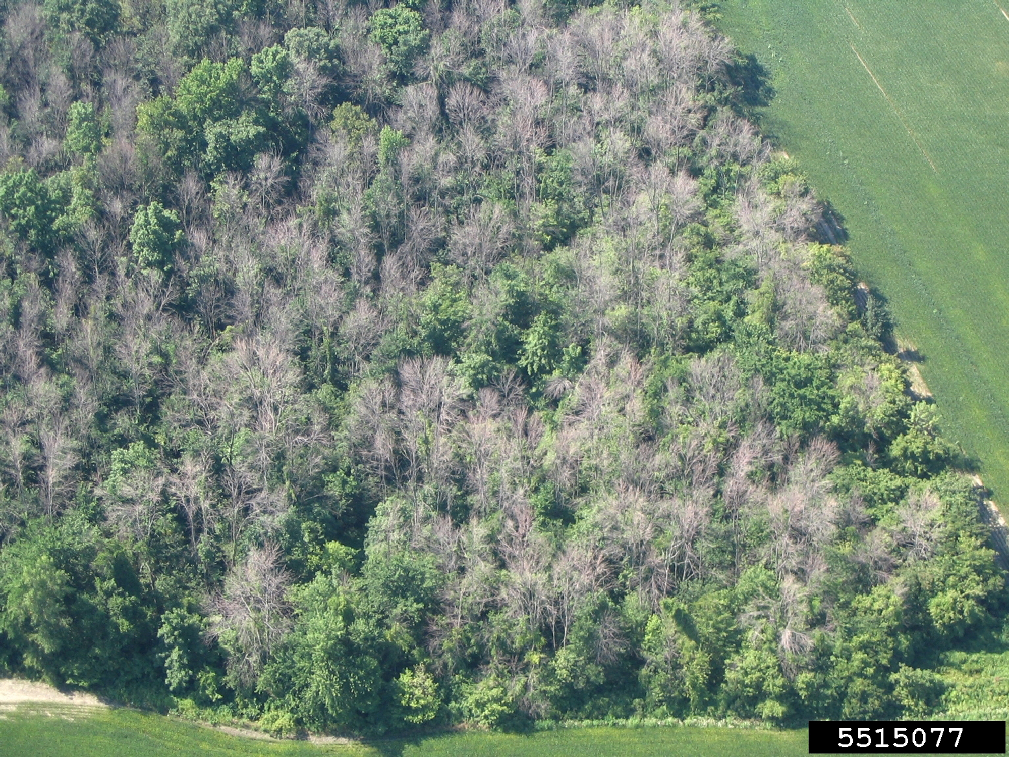 Many Dead Trees in Forest Because of EAB