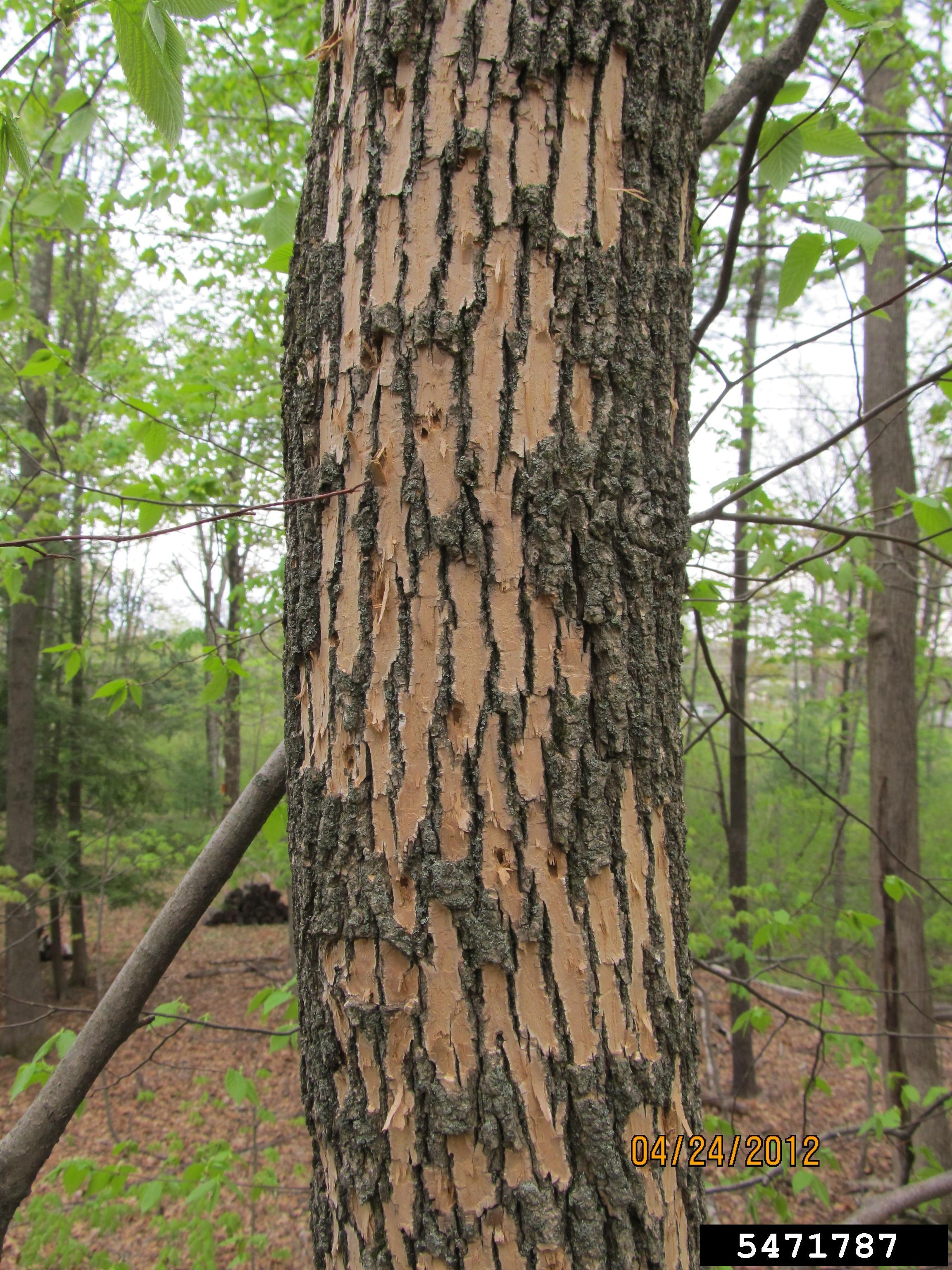 Damage From Woodpeckers Feeding on EAB Larvae